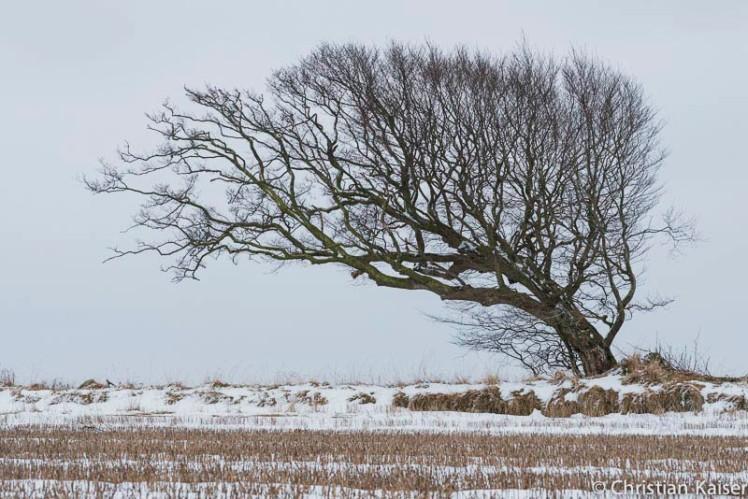 Diieser vom Westwind gebeugte alte Baum in Diithmarschen zeigt die Hauptwindrichtung an.