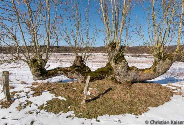 Knickharfe am Ende des Winters