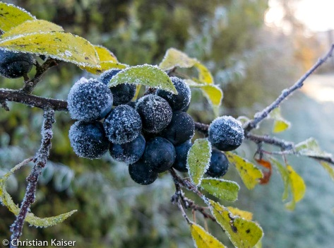 Früchte der Schlehe bei erstem Frost (Rauhreif)