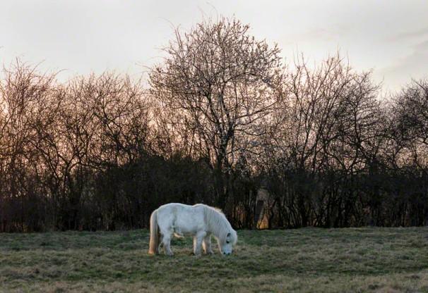 Pony vor einem dornenreichen Knick