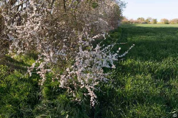 Schlehenblüte halbnah