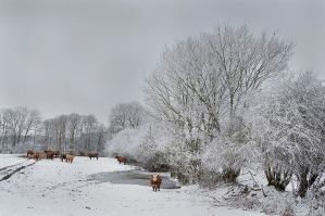 Robuste Schottische Hochland Rinder auf einer Koppel am Knick in Schleswig Holstein. Scottish Highland Rinder
