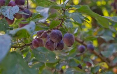Spilken zaehlen zu den Wildpflaumen geerntet im Knick. Spilken sind suessliche kleine Wildpflaumen