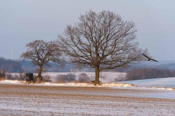 Winterlicher Knick auf verschneitem Feld bei Roge nahe Neustadt OH