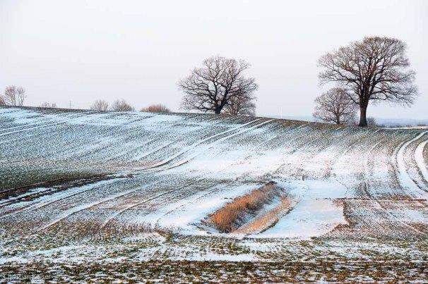 Winterliche Eichen auf verschneitem Feld bei Neustadt OH