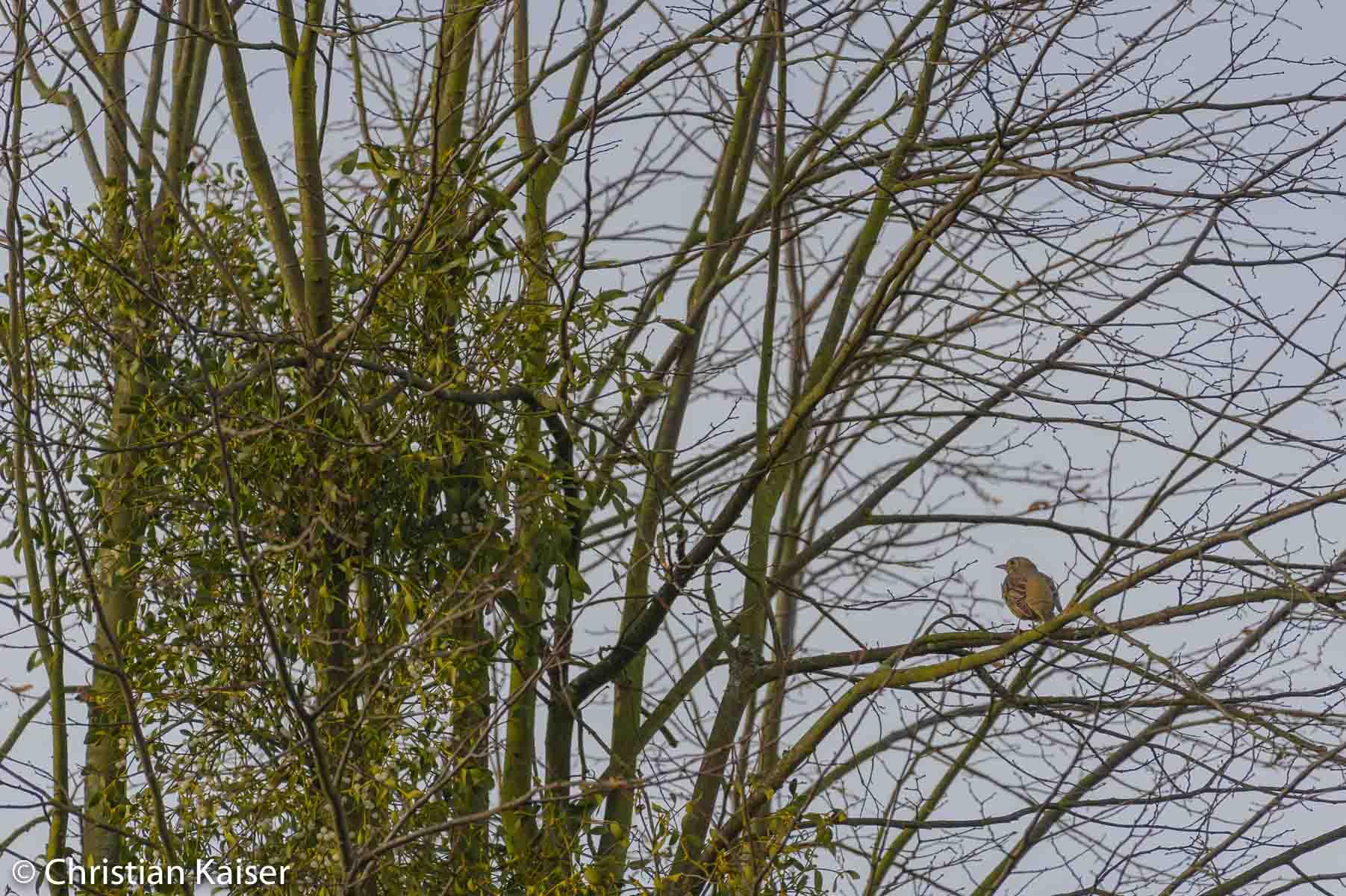 mistletoe in the tree.