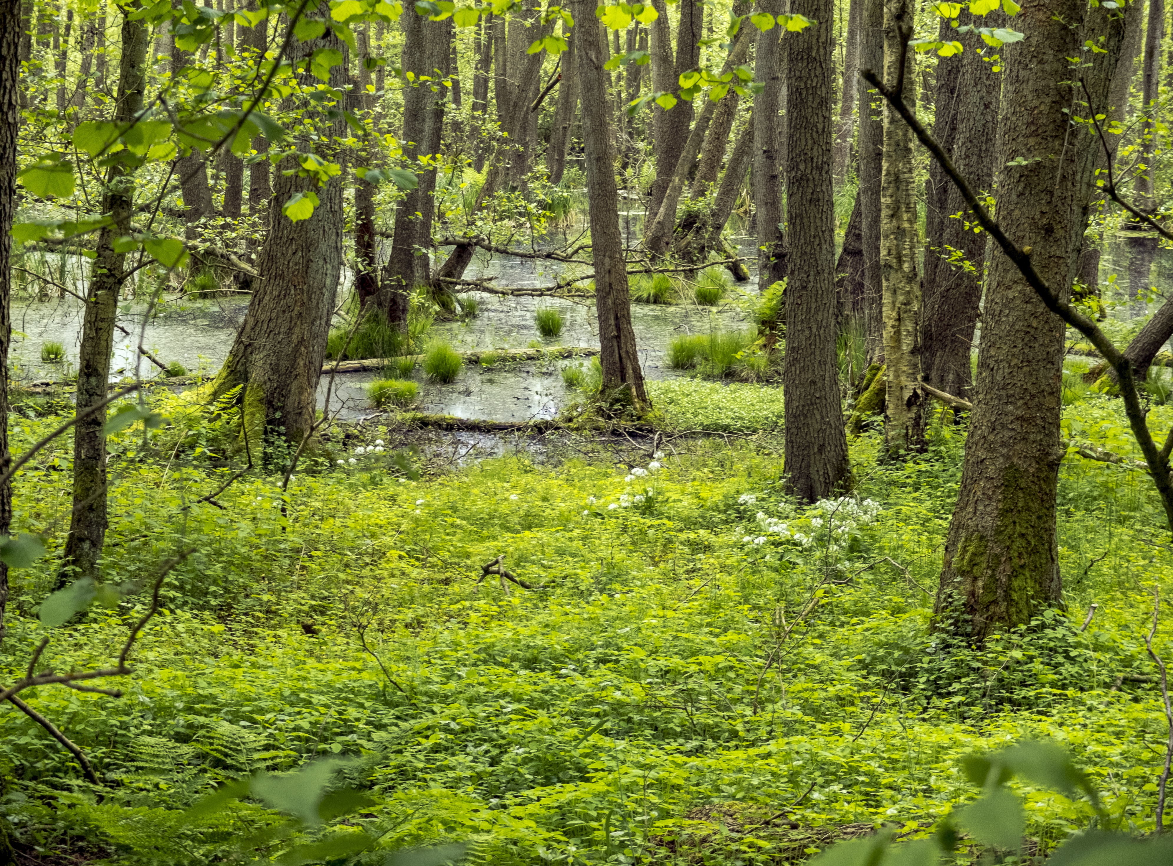 Bruchwälder wurden meist entwässert, wo der Wasserstand hoch ist leben Erlen und andere sumpfliebende Pflanzen