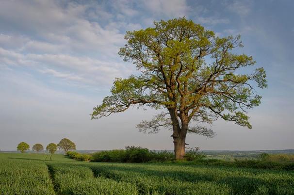 Eichen im Knick werden in Schleswig-Holstein auch Überhälter genannt