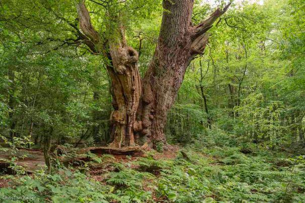 Uralte Eiche Rest eines Hudewalds