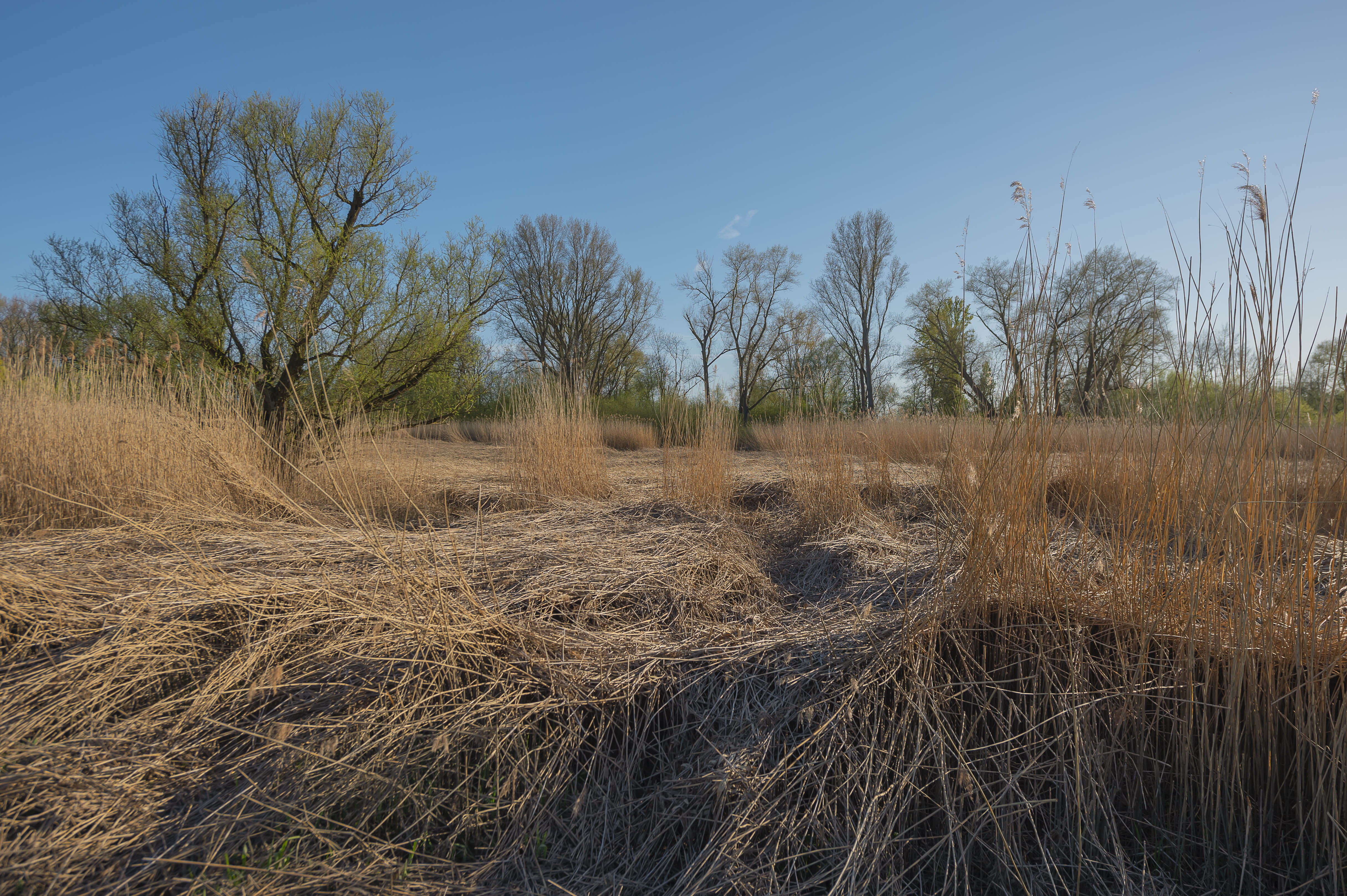 reedgras floodplain forest