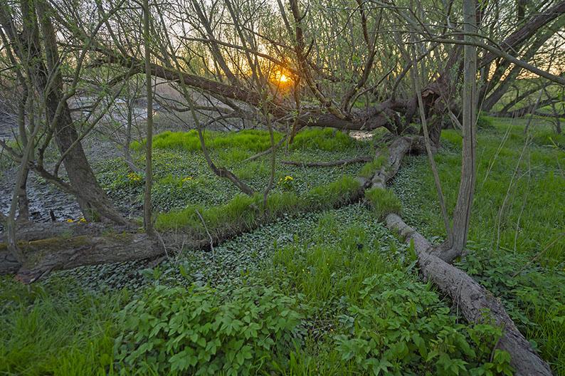 Auenwald, Silberweide, riverside forest  Weichholzauwald, Elbe, Heuckenlock