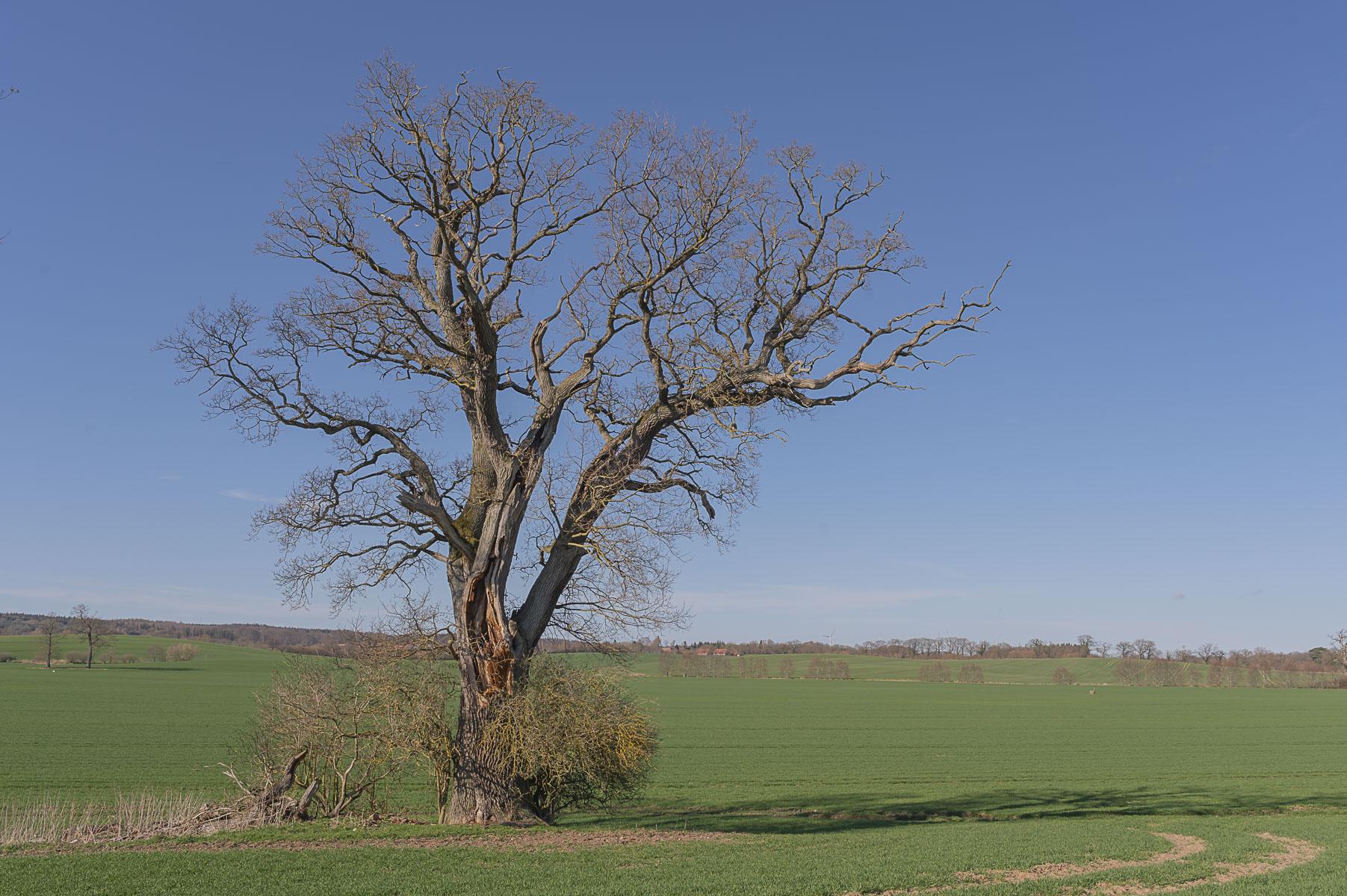Oak on the field