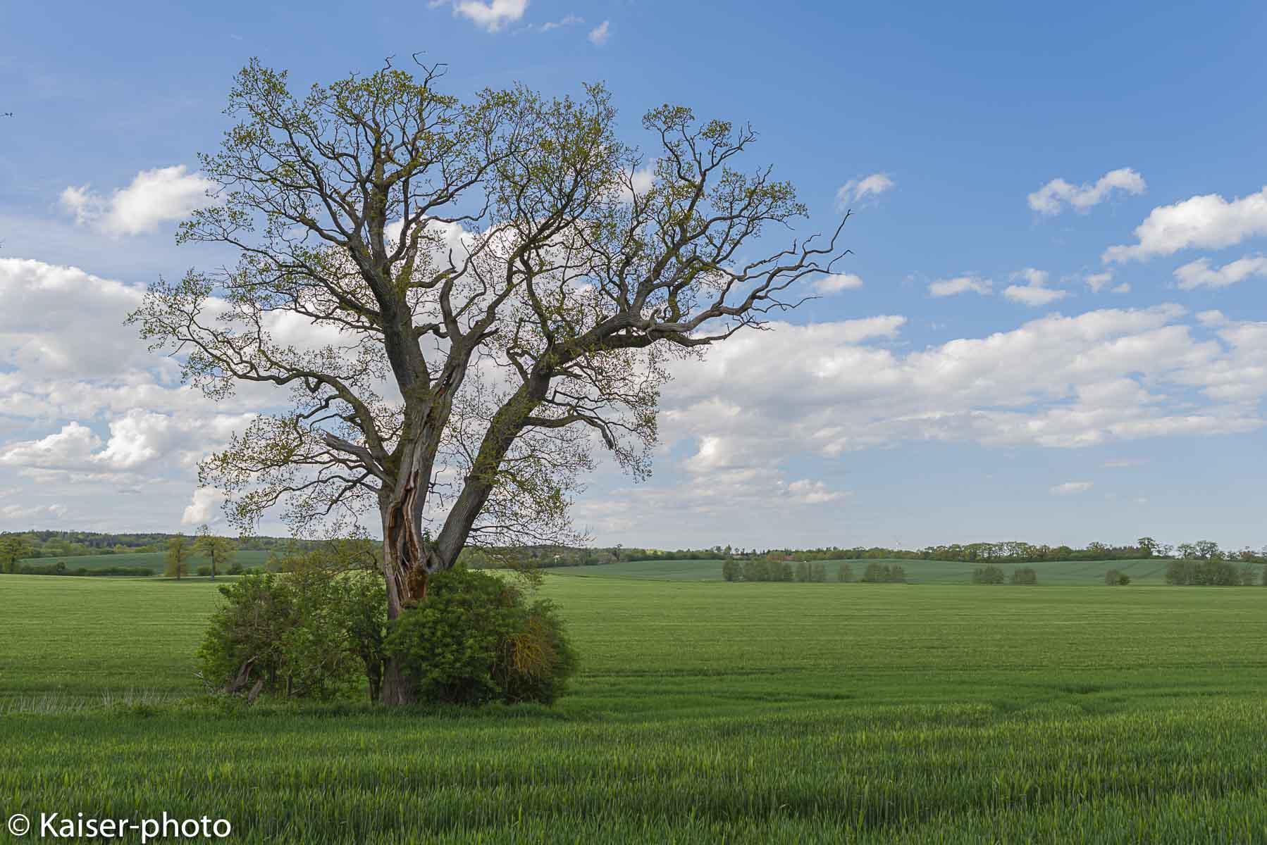 Ein Blitz hat vor vielen Jahren diesen Baum getroffen. Um den Baumstamm herum haben sich Holunderbüsche angesiedelt