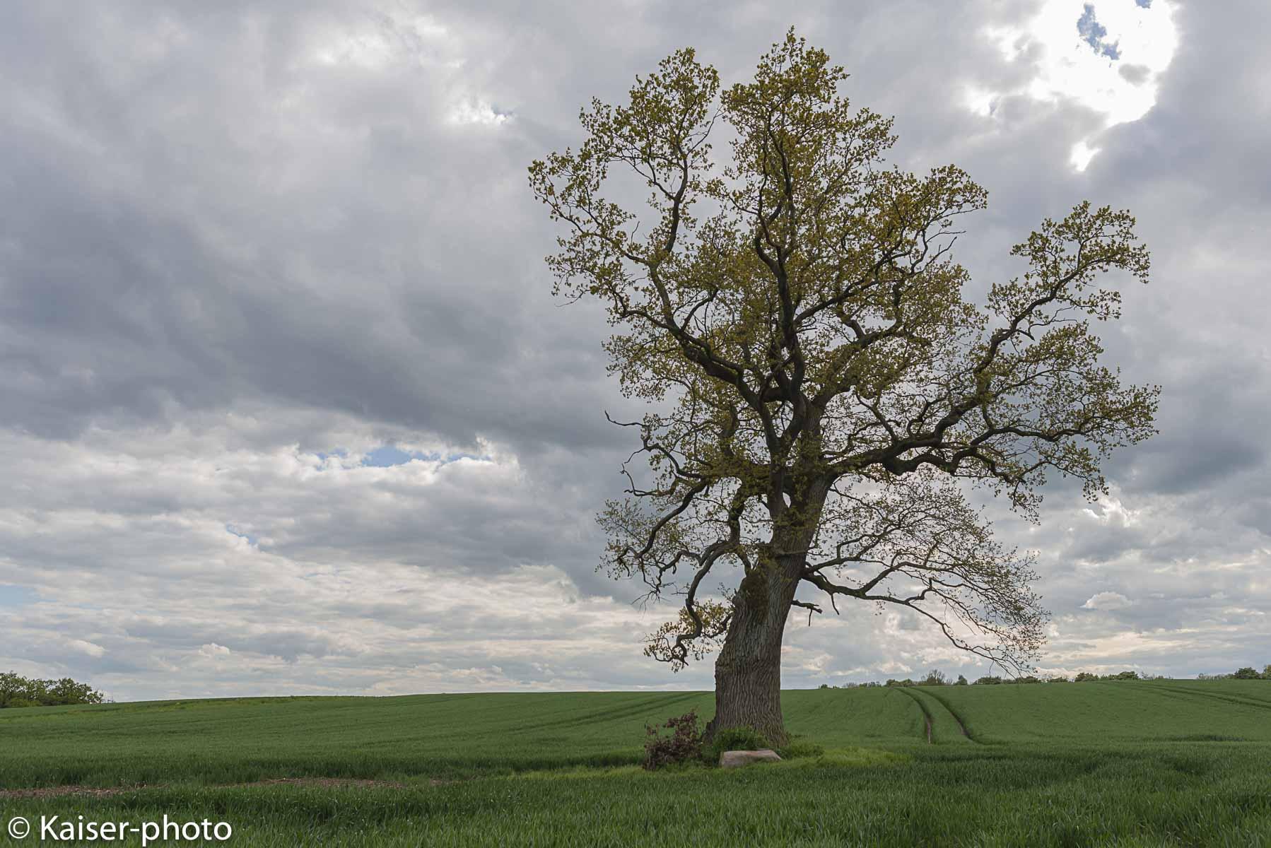 Dieser Baum hat im Sturm starke Äste und einen Teil des Baumstamms (rückseitig) verloren.
