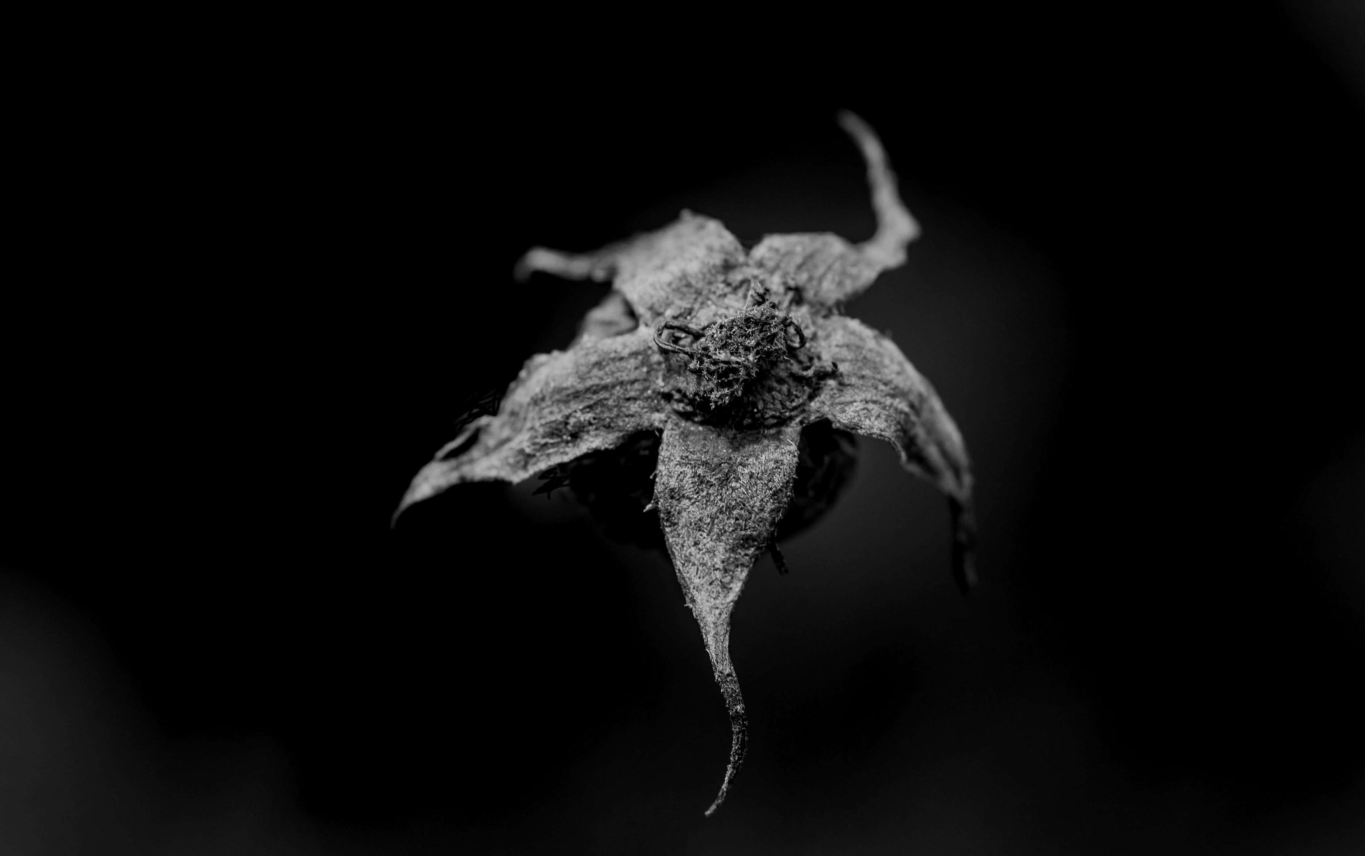 Rose, verblüt, abgeblüt
