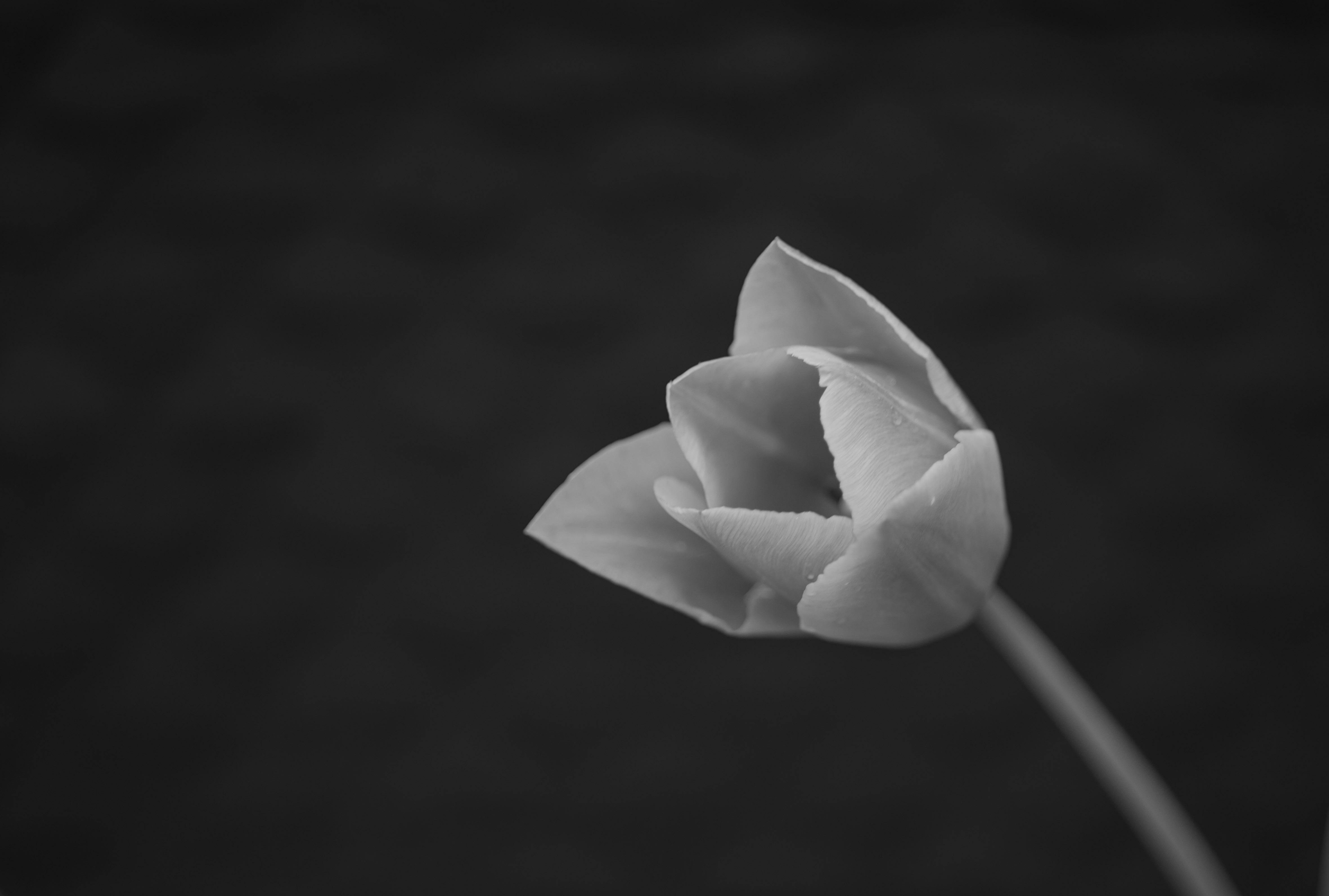 """Tulpe; Ihr Name geht über türkisch tülbend auf persisch دلبند / delband zurück und bedeutet auf persisch """"Geliebte/r"""" (""""del""""/دل = Herz; """"band"""" von """"bastan""""بستن = (zu)bindeKulturpflanze, Tulpe"""