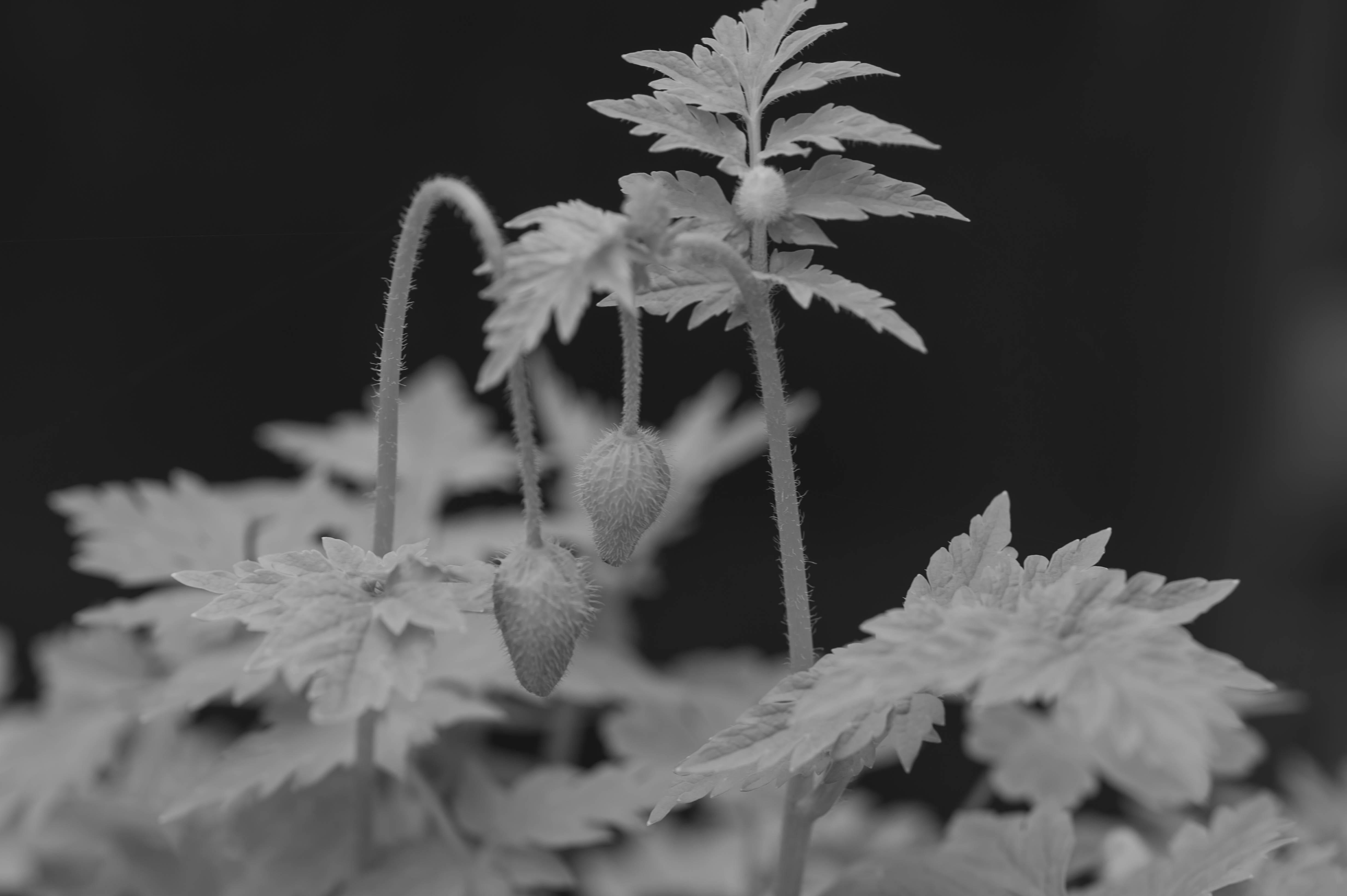 """Mohn, Kulturpflanze, Garten, Mohn gehört zu den ältesten Kulturpflanzen der Welt. Seit mehr als 5.000 Jahren wird er angebaut und kultiviert. Papaver ist die alte, lateinische Bezeichnung für Mohn und bedeutet so viel wie """"essen"""". Der Name kommt von den Römern, die ihren Kindern einst Brei mit Mohnsaft verabreichten, damit sie besser schlafen."""