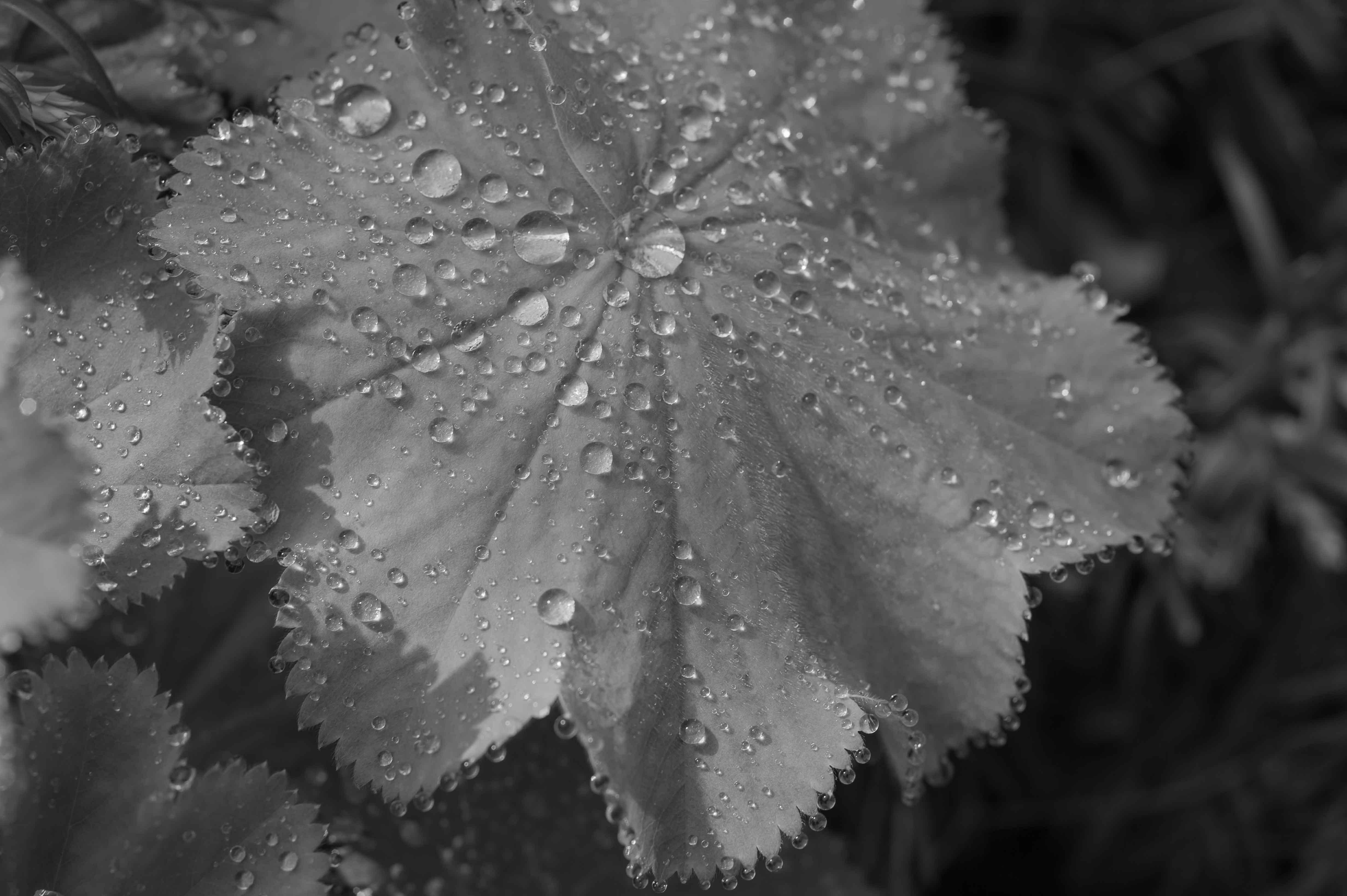 Als Lotus-Effekt (manchmal im Deutschen auch Lotoseffekt) wird die geringe Benetzbarkeit einer Oberfläche bezeichnet, wie sie bei der Lotospflanze Nelumbo beobachtet werden kann. Wasser perlt in Tropfen oder rutscht von den Blättern ab und nimmt dabei auch alle Schmutzpartikel auf der Oberfläche mit. Verantwortlich dafür ist eine komplexe mikro- und nanoskopische Architektur der Oberfläche, die die Haftung von Schmutzpartikeln minimier Hier bilden sich dicke Wassertropfen,