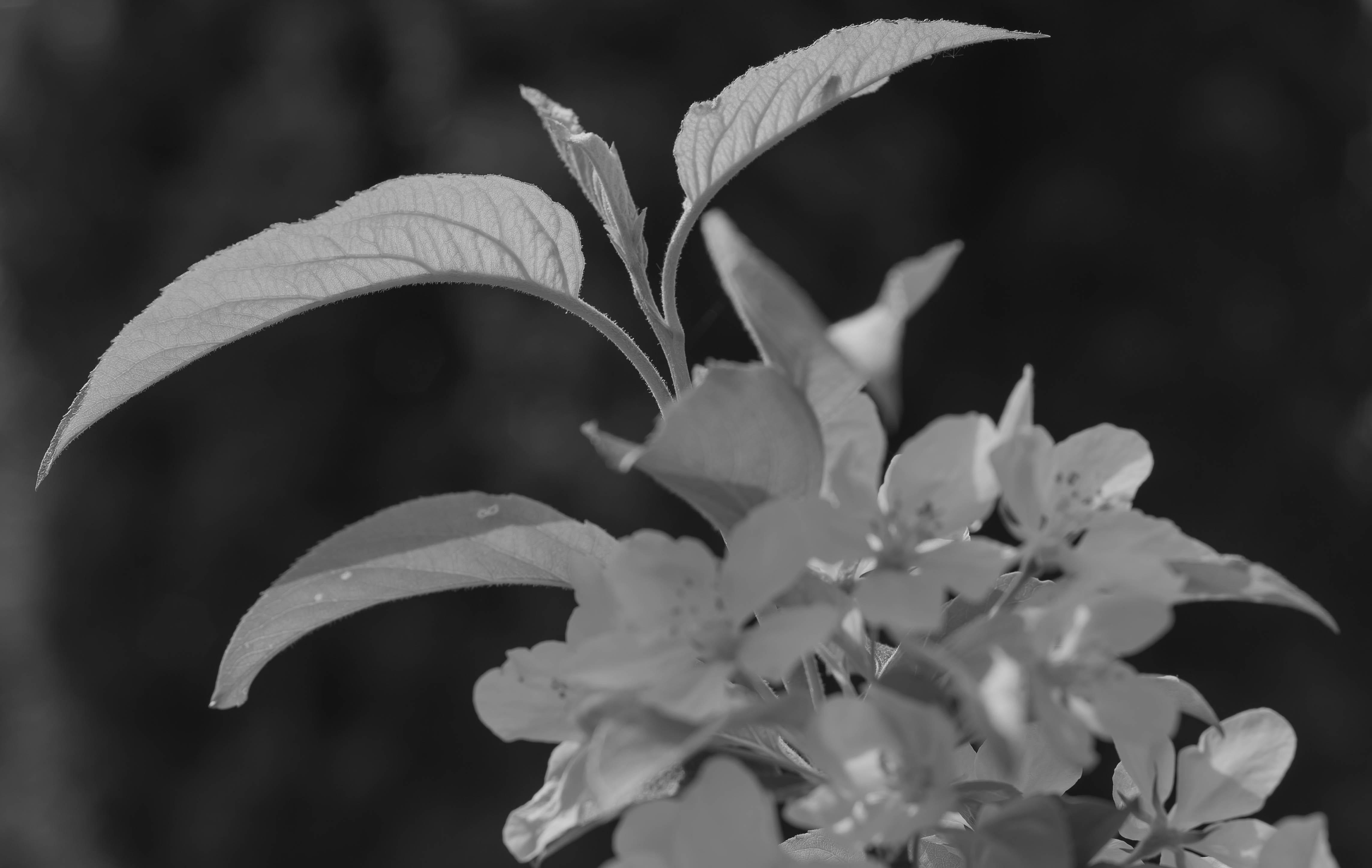 Apfelbluete, Apfelbaum, Malus