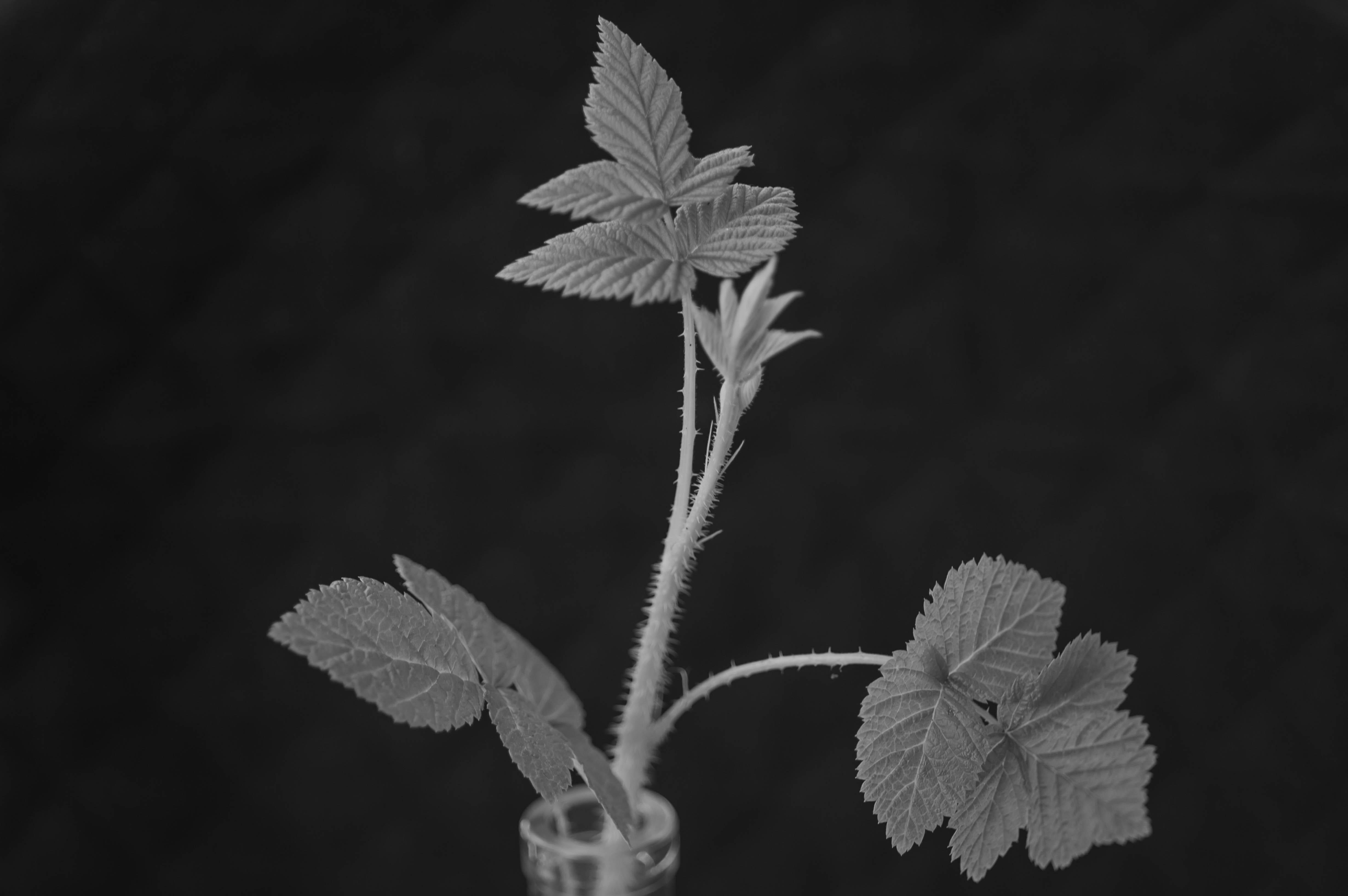 Himbeere, Himbeerpflanze