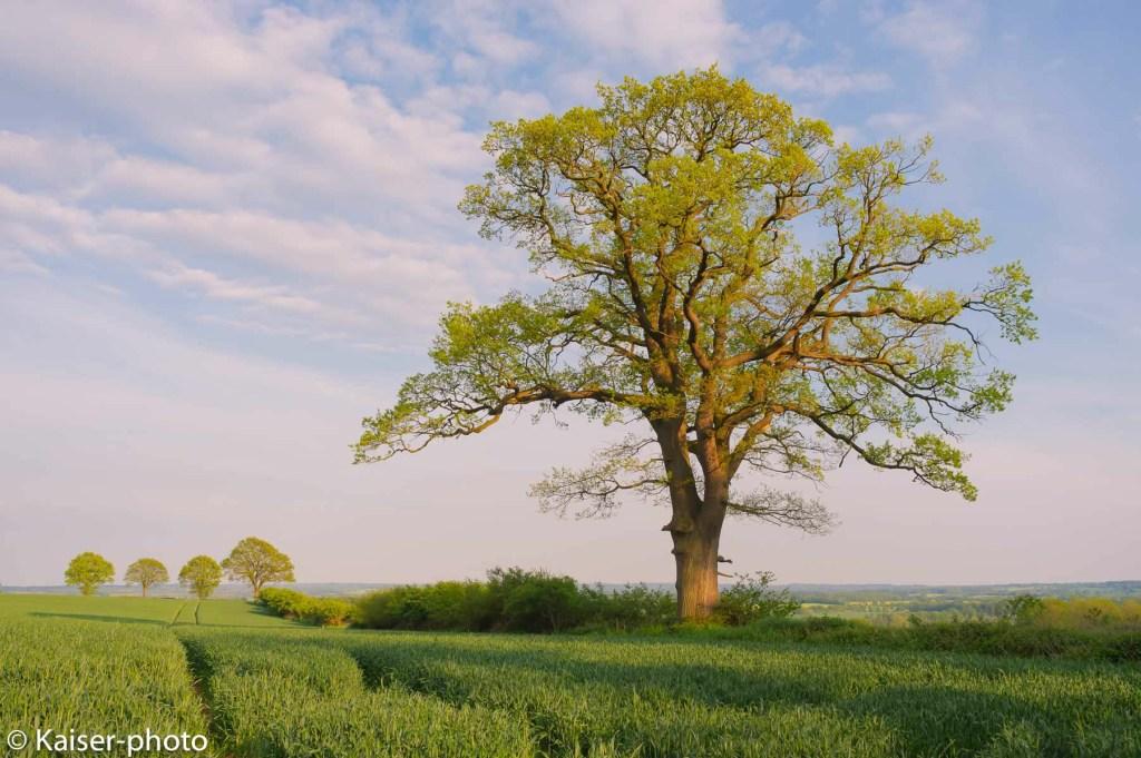 Eiche, Stieleiche, Ueberhaelter, Knickeiche, Knick, Quercus robur, Quercus pedunculata, Oak tree, Baum,